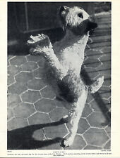 WIRE FOX TERRIER APPEALING IMAGE OLD VINTAGE DOG PRINT FROM 1934