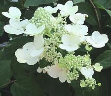 Chantilly Lace 'paniculata' Hydrangea Shrub