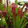 HB- 120Pcs Nepenthes Seeds Potted Carnivorous Plants Flower Catch Insect Bonsai