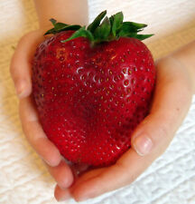 Giant Strawberry Seeds Fragaria Ananassa L. Maximus Seeds 25 Seeds