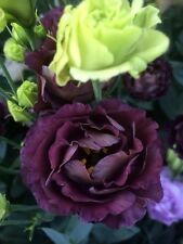 20+ BLACK PEARL AND LIME GREEN  LISIANTHUS FLOWER SEEDS  MIX / EUSTOMA / ANNUAL