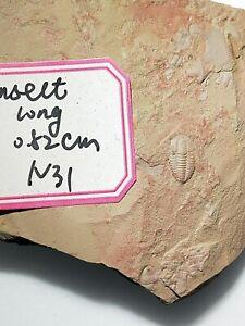 big trilobite from chengjiang yunnan province China I dig myself
