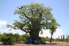 50 Affenbrotbaum Lebensbaum Samen - Afrika Baobab Adansonia Digitata Seeds