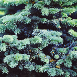 Picea pungens 'Super Blue' 1L Potted Conifer Fir Tree
