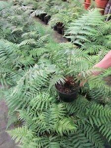 Dicksonia antarctica - Baumfarn - 25-35cm  Pflanze bis -12°C
