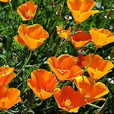 California Poppy Flower Seeds - Bulk - Yellows *