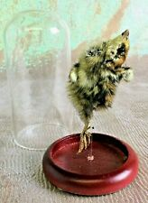 O11 Lg Taxidermy Dancing Mummified Quail Chick showcased in Glass Dome Display