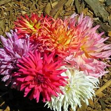 DAHLIA Cactus Flower Mix Seeds (F 440)