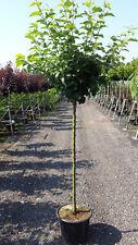 Apfel Baum 'Cox Orange Renette' Malus im 7,5L Topf gewachsen ca. 150-200cm