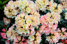 Rhododendron 'Golden Torch' 20-30cm Tall In 1.5L Pot, Stunning Flowers