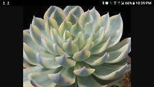 Echeveria subsessilis variegated rare plant - Crassula,cactus,agave