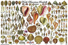 North American Seashells Educational Science Classroom Chart Poster 24x36