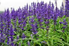 7  x SALVIA BLUE QUEEN PERENNIAL COTTAGE GARDEN PLUG PLANTS SCENTED BEE