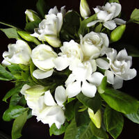 100pcs Gardenia CAPE JASMINE Jasminiodes White Shrub Flower Seeds Plant Ga Deko