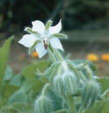 Borage WHITE Borago officinalis Alba Herb 2g Approx 100 Seed
