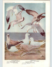 1936 Color Bird Plates Louis Agassiz Fuertes Gull Kittiwake Ivory Sabine Herring