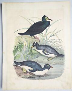 Kolorierte Lithografie - Kormoran Pinguin Ornithologie - 1851 (D7