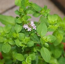 Oregano Herb Seeds - Greek - Bulk