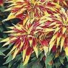150 TRICOLOR AMARANTHUS PERFECTA Summer Poinsettia Amaranth Flower Seeds *CombSH