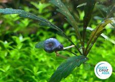 5+1 Deep Blue Leopard Ramshorn Snail - Live Aquatic Snail Algae Cleaner