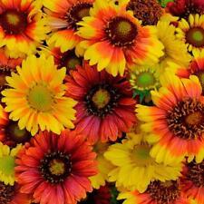 Buy bushy perennial flower plant seeds ebay gaillardia aristata mix blanket flower appx 350 seeds mightylinksfo