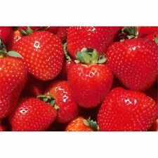 New Pack x6 Strawberry 'Temptation' Perennial Vegetable/Fruit Plug Plants