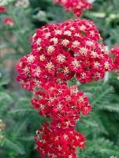 50+ RED VELVET ACHILLEA / YARROW FLOWER SEEDS / PERENNIAL /DEER RESISTANT