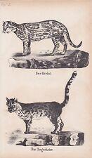 Ozelot Leopardus pardalis Tigerkatze LITHOGRAPHIE von 1831 Brüggemann Schinz