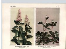 1934 Wildflower Book Plate Meadowsweet Dewberry Hardhack & American Burnet
