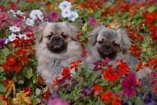 659018 Two Tibetan Spaniels In Flowers A4 Photo Print