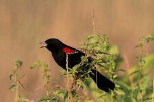 Red Winged Blackbird Photo - Various Sizes