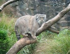 METAL MAGNET Palla's Cat aka Manul Perched On Tree Travel Scotland Cats MAGNET