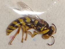 Hymenoptera Crabronidae Stictiella species Sand Wasp CA #6 Bee Pepsis Vespa