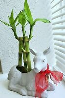 "4"" 6"" 8"" Lucky Bamboo Plants - 3 Stalks,  Feng Shui,  Free Shipping"
