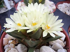 Ariocarpus trigonus @J@ rare cactus cacti seed 10 SEEDS