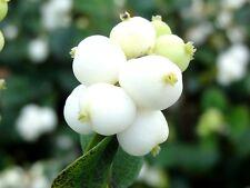 30 Semi Symphoricarpos albus Fiocco di neve Arbusto Siepe Ornamentale Seeds Korn
