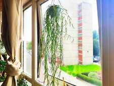 String of Needles, Hoya Linearis, Wax Plant, Porcelain Flowers, Trailing House