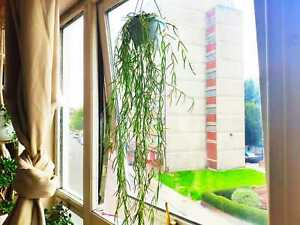 String of Needles, Hoya Linearis, Wax Plant, Porcelain Flowers, Trailing House