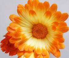 Calendula Oopsy Daisy - Appx 50 seeds - Annuals & Biennials