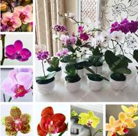 50Pcs Phalaenopsis Orchids Flower Seeds Rare 8 Kind Perennial Plant Home