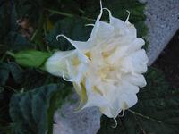 🔥 Datura CREAM & SUGAR 15 Samen doppelt/dreifach creme-weiss Duftpflanze RAR