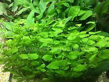 Cardamine Lyrata Bunch Live Aquarium Plants Japan Dwarf Pennywort BUY2GET1FREE*