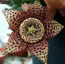50 Semi Stapelia variegata Pianta grassa cactus Orchidea del deserto grain seeds
