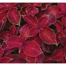 50+ Coleus Wizard Scarlet Shade Loving Flower Seeds / Annual / Great Gift