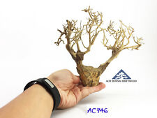 Aquarium Bonsai Driftwood A+++ Moss Tree Shrimp Fish Aquascape -Size Mini- AC746