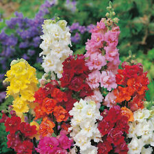 200 Double Mix Snapdragon Seeds Flower Perennial Flowers Seed 310 US SELLER