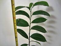 "18"" Soursop Annona Muricata FLORIDA Tropical Fruit Tree Plant Guanabana"