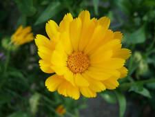 80 graines de SOUCI JAUNE (Calendula Officinalis)Y369 Calendula Bon Bon Yellow