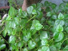 New listing new!100 seed peperomia pellucida Pansit-pansitan Thai herb