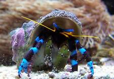 ''AQM'' BLUE KNUCKLE HERMIT CRAB,CLEANERS,FISH, MARINE, Scarlet ,Emeralds ,crabs